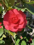 Red Camellia in spring March. Single beautiful camellia bloom in spring March 2019 in Sacramento, California stock images