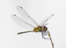 Single beautiful dragonfly Royalty Free Stock Photography