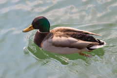 Single beautiful duck floating on the lake. Single beautiful duck floating on the clear lake Stock Images