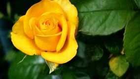 Single beautiful fresh yellow rose blooms on bush in garden in summertime swinging on wind. One flower head. Selective