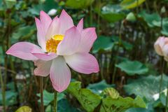 Single Beautiful Lotus Flower Brightly Bloom in a Natural Tropic royalty free stock image