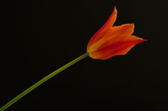 Single beautiful orange tulip Stock Images