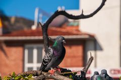 Free Single Beautiful Pigeon With Eye Closed That Has Pretty Green And Purple Crest Sits On A Multilevel Tree Branch. Royalty Free Stock Photo - 134305435