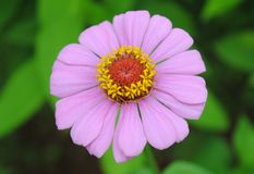 Single beautiful Pink flower with yellow center stock photos