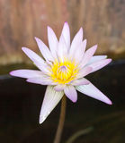 Single beautiful pink lotus flower Stock Photos