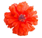 Single beautiful red poppy flower Stock Photos