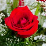 Single Beautiful Red Rose Rosaceae Rosoideae Rosa Arranged with White Baby`s Breath. Beautiful Red Rose Rosaceae Rosoideae Rosa Arranged with White Baby`s Breath Royalty Free Stock Photos