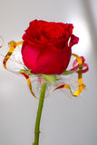 Single beautiful red rose Stock Photography