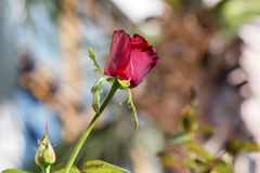 Single beautiful red rose on a blurred background. Natural beautiful red rose on a blurred background stock photos