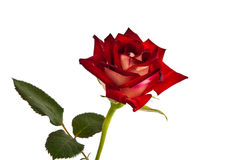 Single beautiful red rose isolated Royalty Free Stock Photography