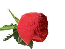 Single beautiful red rose Stock Image