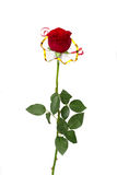 Single beautiful red rose Stock Image