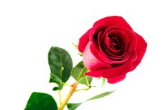 Single beautiful red rose Stock Photo