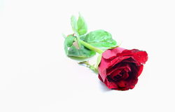 Single beautiful red rose isolated Stock Photography