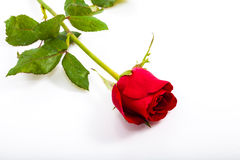 Single beautiful red rose isolated on white Royalty Free Stock Images