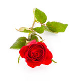 Single beautiful red rose isolated on white Stock Images