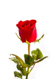 Single beautiful red rose isolated on white. Background Royalty Free Stock Image