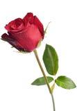 Single beautiful red rose isolated on white background Stock Photos