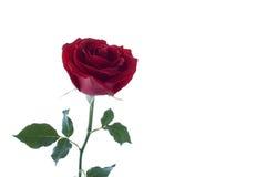 Single beautiful red rose Royalty Free Stock Photos