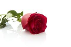 Single beautiful red rose Stock Photos