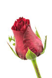 Single beautiful red rose. On white background Stock Photo