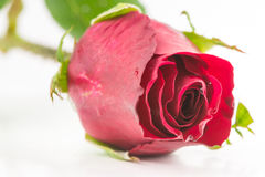 Single beautiful red rose Stock Photos