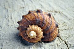 Single beautiful sea shell on a sandy beach Royalty Free Stock Photo