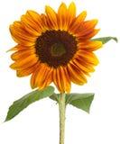 Single beautiful sunflower Royalty Free Stock Photo