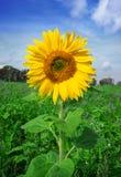 Single beautiful sunflower Royalty Free Stock Photos