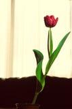Single beautiful tulip flower Stock Photo