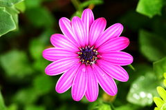 Single beautiful violet Pink Osteosperumum Flower Daisy Royalty Free Stock Image