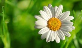 Single beautiful white daisy Royalty Free Stock Photo