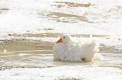 Single Beautiful White Goose Sitting In Ice Stock Photography