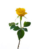 Single beautiful yellow rose. Single flower beautiful yellow rose isolated white stock photography