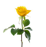 Single beautiful  yellow rose Stock Image