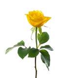 Single beautiful yellow rose. Single flower beautiful yellow rose isolated white stock image