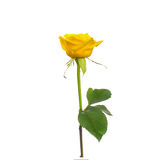 Single beautiful yellow rose. Isolated white stock photos