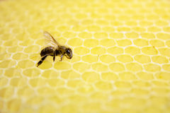 Single bee Royalty Free Stock Photo