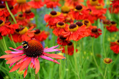 Single bee finds a mass of brightly coloured echinacea and helenium flowers Royalty Free Stock Photography