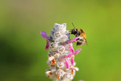 Single bee on a flower. Summertime royalty free stock photo