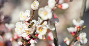 Single bee on the flowering apricot branch Stock Image