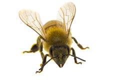 Single Bee isolated on white royalty free stock images