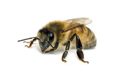 Single Bee isolated on white stock images