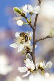 Single bee on a plum tree flower Royalty Free Stock Photo