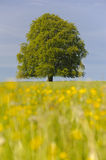 Single beech tree Royalty Free Stock Photo