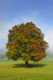 Single beech tree. In autumn stock photo