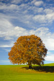 Single beech tree at fall Stock Photography