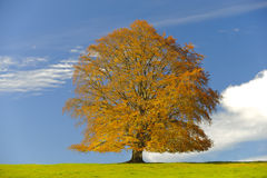 Single beech tree at fall Stock Images