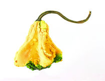 Single Bell Shaped Gourd Royalty Free Stock Images