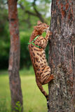 A single bengal cat in natural surroundings Royalty Free Stock Photos